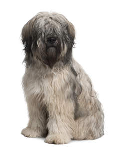 A young Catalan Sheepdog with an incredible soft thick coat