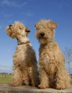 Two adult Lakeland Terriers with wonderful soft, scruffy coats