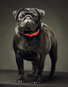 A healthy, adult Pug standing tall, showing off it's thick, black coat