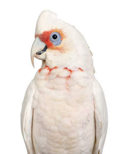 A Little Corella's wonderful, white feather pattern
