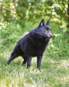 The wonderful Schipperke standing very sternly, ready for its next command