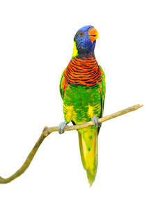 A Rainbow Lorikeet with a wonderful orange and black stripped chest