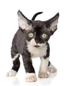 A little devon rex kitten with big ears