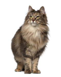Norwegian Forest cats are large but very soppy