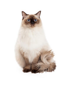 A young brown pointed Ragdoll Cat