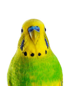A close up of a Budgerigar's beautiful colour patterns