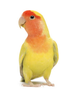 A Rosy Faced Lovebird's lovely, yellow chest feathers