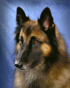 A close up of a Belgian Tervuren's lovely, long nose and sharp ears