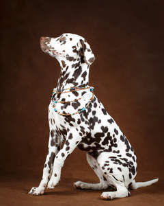 A healthy, adult Dalmatian showing off it's wonderful brown spots
