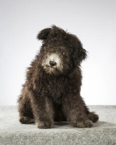 A Hungarian  Pumi with a big fluffy coat
