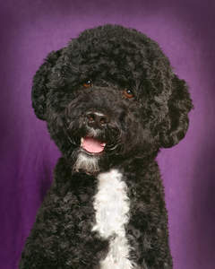 A Portuguese Water Dog with beautiful little eyes and a thick curly coat