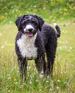 The incredible thick curly coat of a Spanish Water Dog