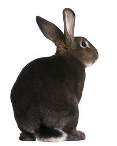The beautiful fluffy tail and tall ears of a Castor Rex rabbit