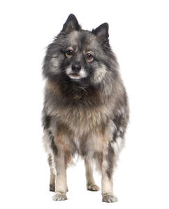 A young Keeshond standing tall, showing off its pointed ears and soft, thick coat
