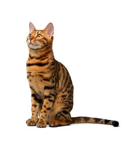 A lovely bengal cat with brilliant markings