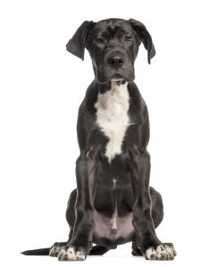 A Great Dane puppy with beautiful big feet and floppy ears