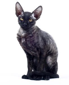 A black cornish rex with lovely big ears