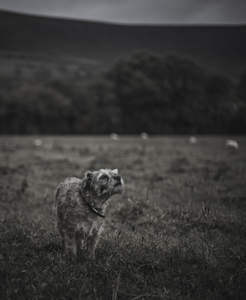 A lovely Border Terrier, sniffing out a scent