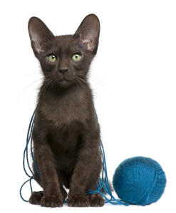 a dark havana brown kitten covered in wool string