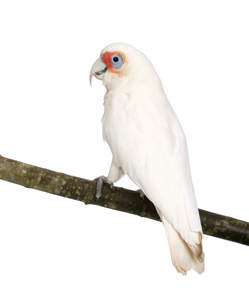 A lovely Little Corella perched on a branch