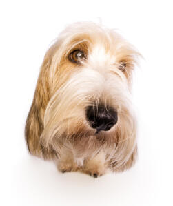 The lovely face of a Basset Griffon Vendeen Petit