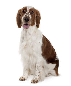 A beautifully soft young Welsh Springer Spaniel sitting neatly