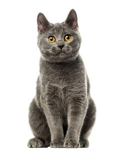 A chartreux cat with a deep grey coat