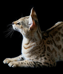 A young Savannah cat thats very curious