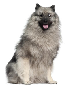 A beautiful young Keeshond's soft, thick coat