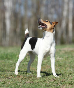 A Parson Russell Terrier standing tall, showing off it's wonderful long legs