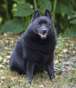 An incredible little Schipperke sitting, showing off it's thick soft dark coat