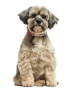 A lovely little Lhasa Apso with a short puppy cut and floppy ears