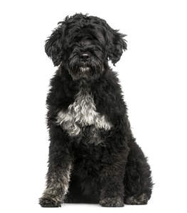 A lovely fluffy black Portuguese Water Dog