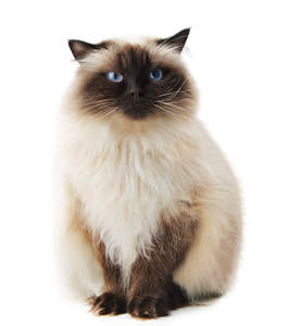 A charming Himalayan Persian with pointed coat