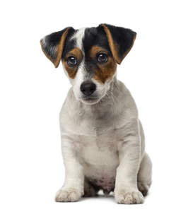 A lovely, little Jack Russell Terrier puppy looking very inquisitive