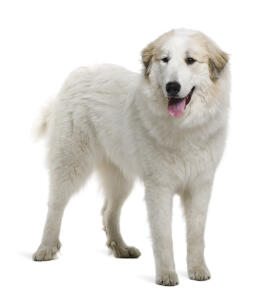 A beautiful Pyrenean Mountain Dog with a healthy, thick white coat