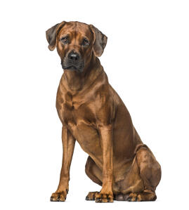 A mature male Rhodesian Ridgeback sitting strong and proud, awaiting commands