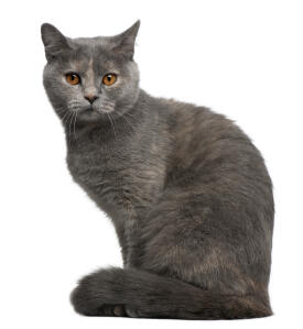 A plush coated british shorthair with amber eyes