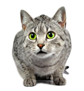 a beautiful egyptian mau with dazzling green eyes