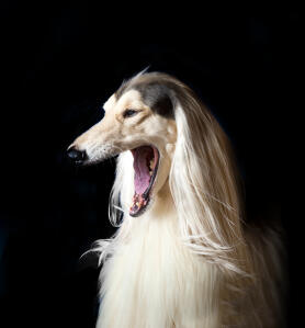 A gorgeous afghan hound showing off his huge mouth