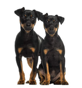 Two inquisitive Doberman Pinscher puppies sitting together