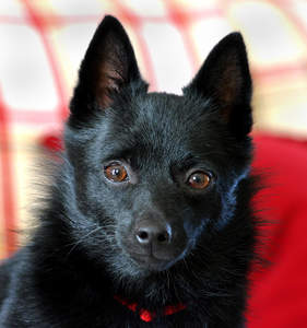 A close up of a Schipperke's incredible tall pointed ears