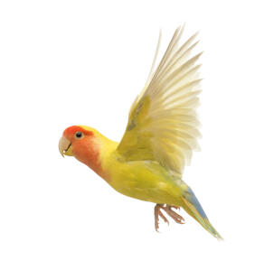 A wonderful Rosy Faced Lovebird in mid flight