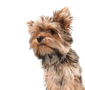 A beautiful, little Yorkshire Terrier with a healthy, long coat and button nose