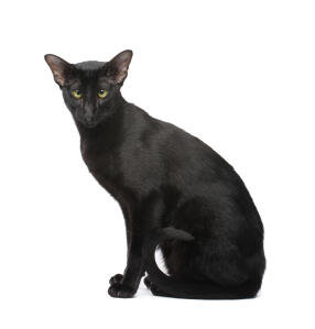 A beautiful black Oriental with a shiny Coat