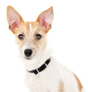 A close up of a young adult Jack Russell Terrier's pointed ears