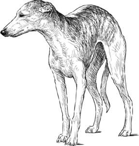 A drawing of an Italian Greyhound