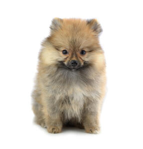 A Pomeranian sitting neatly awaiting commands from its owner