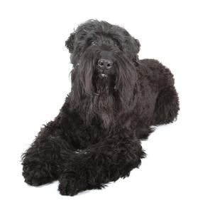 A lovely young adult Black Russian Terrier lying neatly with it's paws together