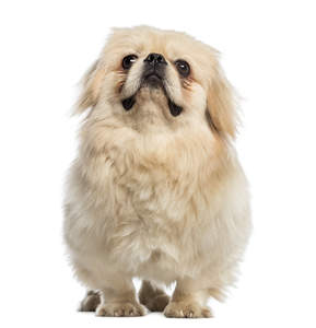 A lovely little Pekingese with a soft blonde coat